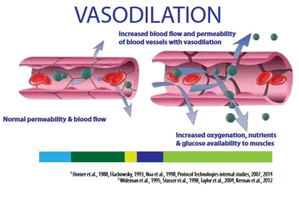 Vasodilation Graphic  U2013 Protocol Naturals